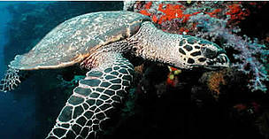 Hawksbill turtles live on coral reefs where their favourite food, sponges, are most plentiful. Fiji. / ©: WWF / Cat HOLLOWAY