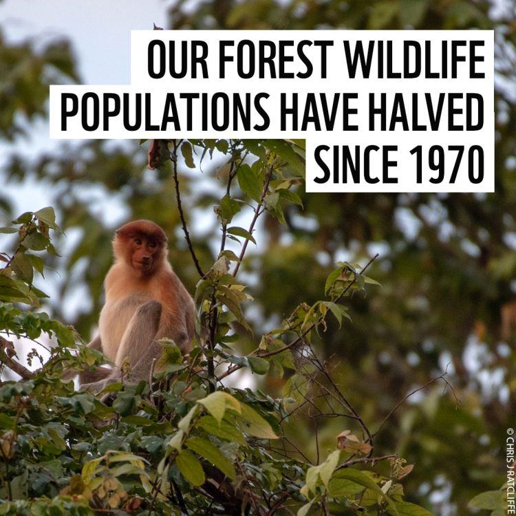 Global Forest Wildlife Populations in Significant Decline, new WWF report shows