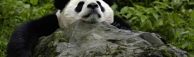 giant panda essay Essay about the giant panda paradigm - the giant panda paradigm the giant panda is a creature of mystery adults and children alike appreciate it for its cute, fuzzy .