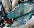 A bundle of juvenile parrot fish for sale at a fish market, Suv, Fiji