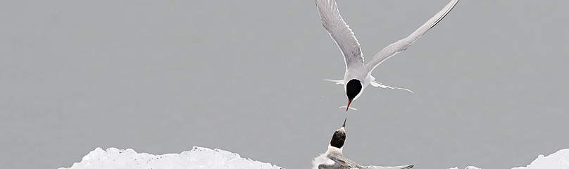 Adult Arctic tern (Sterna paradisea), feeding the young, Iceland.  	© Wild Wonders of Europe /Orsolya Haarberg / WWF