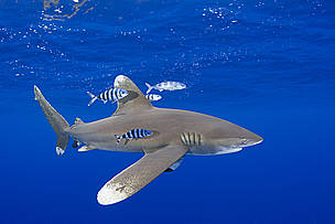 The oceanic whitetip shark (Carcharhinus longimanus) is a pelagic shark and can be found in ...  	© naturepl.com/Doug Perrine / WWF