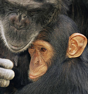 Chimpanzee (Pan troglodytes) mother with youngster, captive, Chimfunshi Orphanage, Zambia