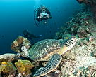 Diver photographing a turtle in Bunaken National Park. Manado underwater, North Sulawesi, Indonesia.