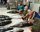 Bigeye tuna are graded for export or local market at Benoa, Bali, Indonesia