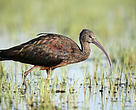Glossy ibis, Donana National Park, Spain