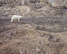 A female polar bear wearing a radio collar for tracking on Spitsbergen, Svalbard.