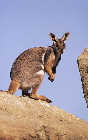 Petrogale xanthopus Yellow-footed rock wallaby Inhabits rocky outcrops Australia  	© Martin HARVEY / WWF
