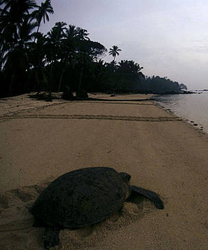 Common green sea turtle (Chelonia mydas) female returns to sea after laying eggs. Philippines. / ©: Jürgen FREUND / WWF-Canon