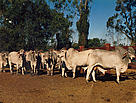 Feed is brought in for the cattle as there is nothing on the ground. This photo was taken in 1994.