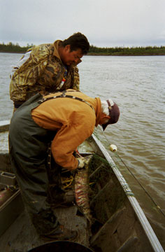Subsistence salmon fishing with Ross Sam & George Attla in summer near Huslia, Alaska.  	© Kathy Turco