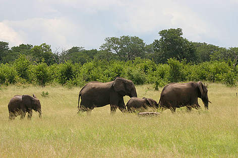 An African elephant family roaming through high grass. rel=