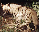 Striped hyenas used to be widespread throughout the southern part of Central Asia, but today are only found in small numbers in southern Turkmenistan, Uzbekistan and Tajikistan.