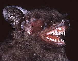 Hypsugo dolichodon, the long-toothed pipistrelle.  	© Judith L. Eger