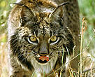 """Morena"", the oldest female (13 years old) of the captive breeding program of the Iberian Lynx (Doñana National Park). Spain."