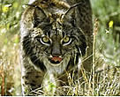 The Iberian lynx (<I>Lynx pardinus</I>) is the world's most endangered wild cat species.