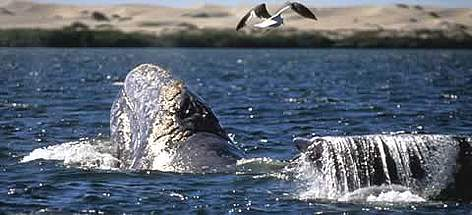 Critically endangered Gray whale Eschrictius robustus. rel=