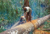 Illegal logging, Tesso Nilo, Sumatra, Indonesia. Illegal logging is a major threat to the world's forests.