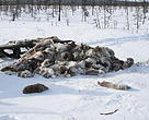 A pile of reindeer pelts left behind by poachers. Krasnoyarsk region, Russia, April 2017.