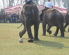 Gearing up for a jumbo kick. Elephant football in progress in Chitwan.