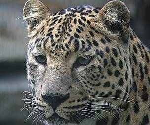 Population of world's most endangered leopard grows in China