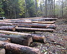 Illegal logging in Bialowieza forest