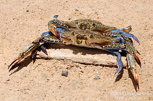 Two crabs on the sand