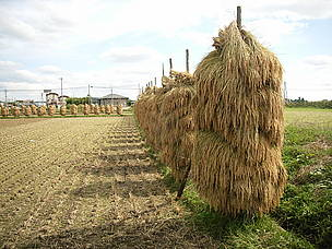 Drying rice after harvest. Kurihara, Miyagi prefecture, Japan.