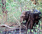 As human populations grow and people settle in areas that were once the sole domain of elephants, human-elephant conflicts become increasingly common. At present, this is the biggest threat to the survival of Asian elephants in the wild.