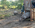 A female Indian Rhinoceros (Rhinoceros unicornis) is released after being translocated to Manas National Park in Assam, India on 29 Dec 2010. The translocation is part of the Indian Rhino Vision 2020, a joint project that involves WWF.
