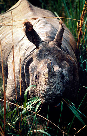 Indian one-horned rhinoceros (<i>Rhinoceros unicornis</i>) - grazing on elephant grass, ...  	© WWF / Gerald S. CUBITT