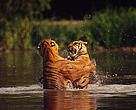 Indian tigers (<i>Panthera tigris tigris</i>) fighting in the water Bangkok Zoo, Thailand.
