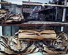The skins of Indochinese tiger and other rare cats are openly displayed for sale in Cho Lon market, Ho Chi Minh City, Vietnam.
