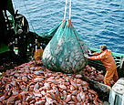 Industrial fishing of the deep-sea fish orange roughy, also known as deep-sea perch.  	© Australian Fisheries Management Authority.