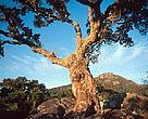 Cork oak tree, Spain.