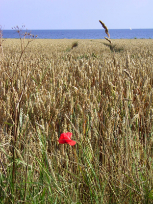 A wheat field with the Baltic Sea in the background.  	© Imke Schulze / iStockPhoto