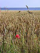 A wheat field with the Baltic Sea in the background. / ©: Imke Schulze / iStockPhoto
