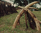 Confiscated ivory and muzzleloaders on display in front of the Luangwa Wildlife Office Near South Luangwa National Park, Zambia