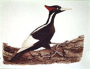 Ivory-billed (<i>Campephilus principalis</i>) woodpecker drawing.  	© WWF / Paul BARRUEL