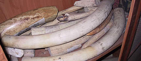Confiscated elephant tusks in Royal Chitwan National Park, Nepal rel=
