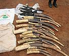 Seized elephant tusks and severed tails on display