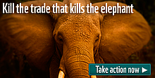 Join our campaign to end the illegal wildlife trade. We must kill the trade that kills elephants, ... / ©: naturepl.com / Jeff Vanuga / WWF