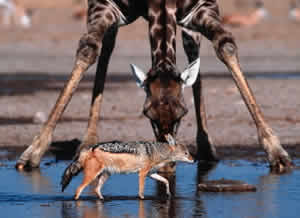 Black-backed jackal (Canis mesomelas) and giraffe at a waterhole, Namibia.  / ©: WWF / Martin Harvey