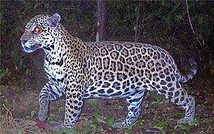 A jaguar is photographed by a camera trap as part of a large-scale census of jaguars in the Amazon ...  	© Santiago Espinosa