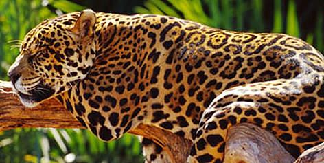 jaguar wwf