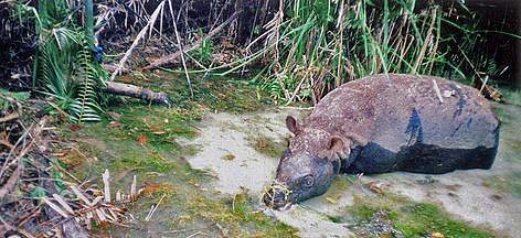 Javan rhino | WWF
