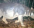 A Javan rhino is captured on camera in Vietnam's Cat Tien National Park. The last Javan rhinoceros in Vietnam was found dead in the park in April 2010.