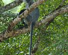 Silver shanked langur, one of the endangered species in Mondulkiri Protected Forest