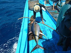 Yellowfin Tuna, Vietnam
