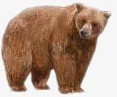 Brown Bear. / ©: WWF